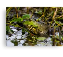 Female Bullfrog Oil Canvas Print