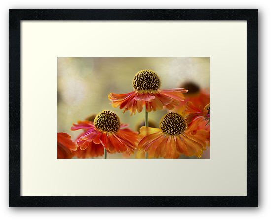 Helenium sunset by Mandy Disher
