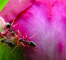 Ants go Marching by Amanda Reed