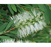 White Bottle Brush Photographic Print