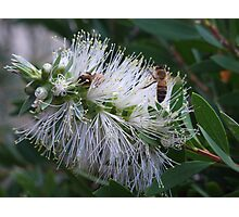 White Bottle Brush with Bees Photographic Print