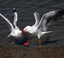 Duelling Seagulls by Nikki25