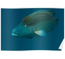 Napolean wrasse Poster