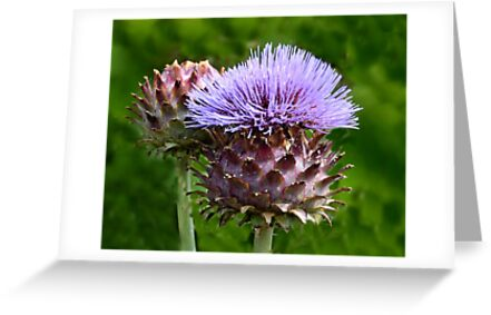 Buy e greeting cards uk - Large Thistles In Lyme Gardens-Dorset-Uk Greeting Cards & Postcards