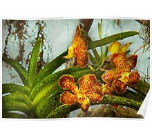 Orchid - Oncidium - Ripened  Poster