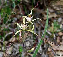 Primrose Spider Orchid by Rick Playle