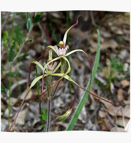 Primrose Spider Orchid Poster
