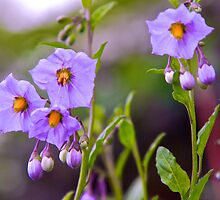 Chaparral Nightshade by John Butler