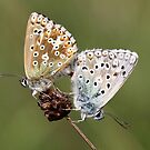 Mating Chalkhill Blues by Neil Ludford