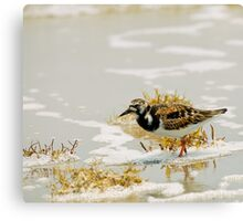 Ruddy Turnstone (Arenaria interpres) Canvas Print