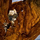 Baby Great Horned Owl in Nest by Paul Wolf