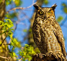Great Horned Owl (Bubo virginianus) by Paul Wolf