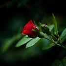 A Rose by Kathy Nairn