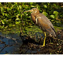 Tricolored Heron (Egretta tricolor) Photographic Print
