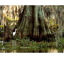 Egret and Cypress Photographic Print
