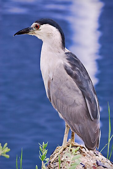 Black-Crowned Nigh-Heron (Nycticorax nycticorax) by Paul Wolf