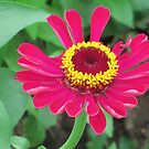 golden ring around the zinnia by Linda  Makiej