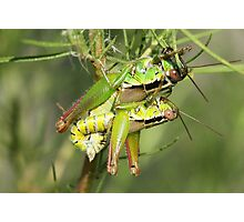 Mating Short Horned Grasshoppers Photographic Print