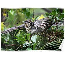 Long Tailed Common Koel Poster
