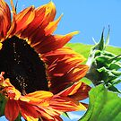 Red Sunflower by Alyce Taylor