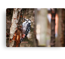 White backed woodpecker Canvas Print