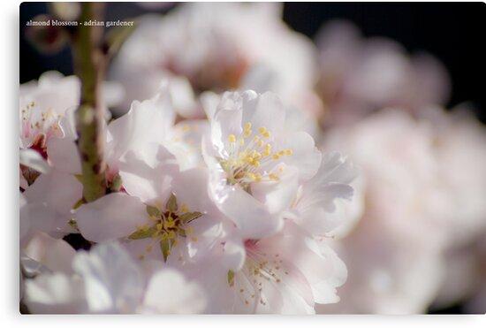 Almond Blossom by garts