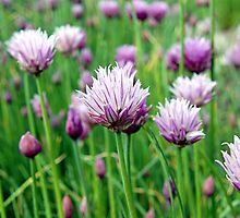wild chives blossoms by Linda  Schilling