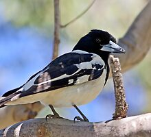 Australian Butcher bird - Elliott Heads - Australia by Anthony Wilson