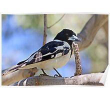 Australian Butcher bird - Elliott Heads - Australia Poster