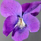 Violet by julie anne  grattan