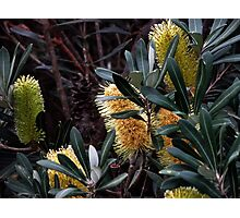 Banksia Bunch. Photographic Print