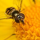 Hoverfly resting on a flower by Andrew Widdowson