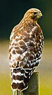 Red-Shouldered Hawk, Oil Painting by Paul Wolf