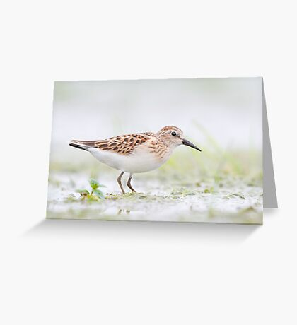 Least Sandpiper. Greeting Card