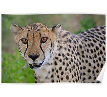 Hungry Cheetah Poster