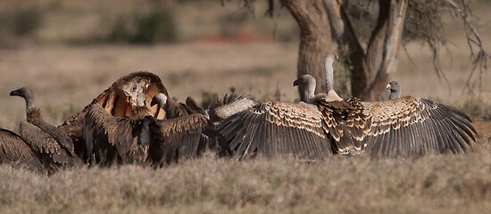 Vulture display by David Clarke