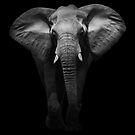 Elephant by Cliff Vestergaard