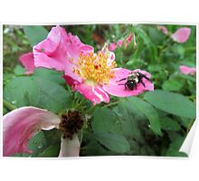 Bumble Bee on a Rose Poster