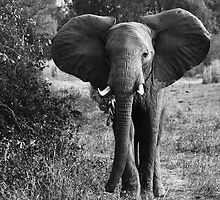 Animalia I - African Savannah Elephant by Oliver Parish