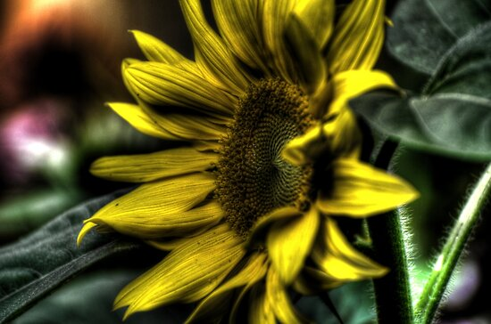freaky sunflower by Nicole W.