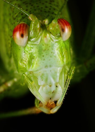 Katydid portrait by jimmy hoffman