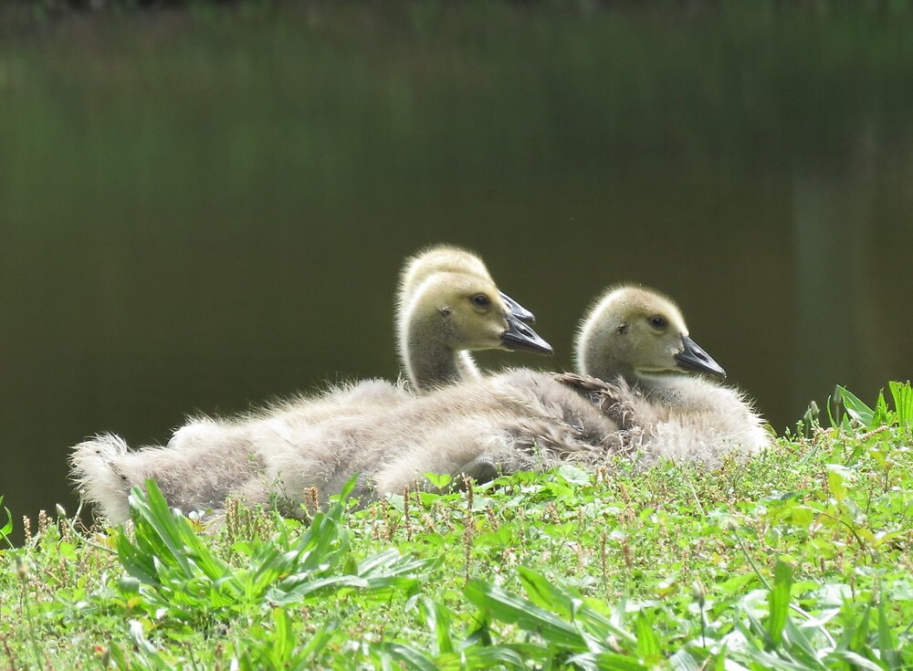 Goslings raring to snooze by Alex Call