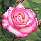 A Rose Called Handel by STHogan