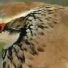 Red Legged Partridge by woodlandninja