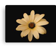 Pretty Cape Daisy on Black Background Canvas Print