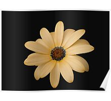Pretty Cape Daisy on Black Background Poster