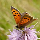 Small Copper by jesika