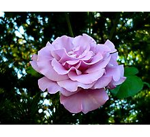 Lavender Rose Photographic Print