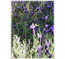 Beeutiful Lavender Photographic Print