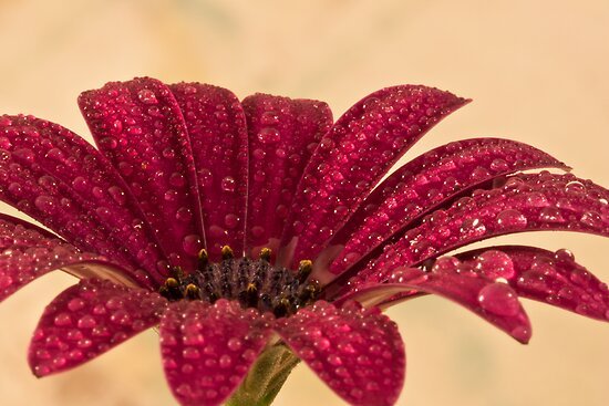 Gazania After The Rain by Sandra Foster